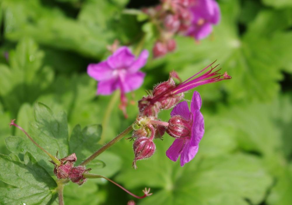 Geranium macrorrhizum, flocknäva - blomman är ätbar och näringsrik.