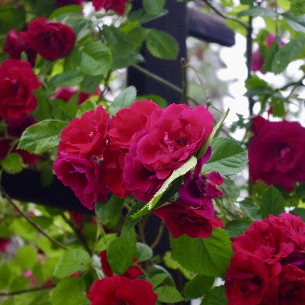 Ros Flammentanz med överdådig blomning. Ros Flammentanz med överdådig blomning.