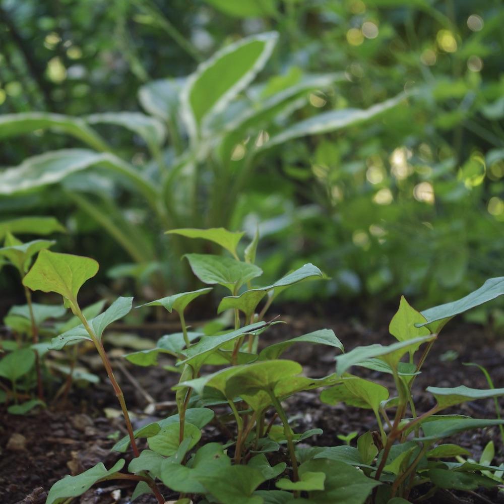 Ödleblad, Houttuynia cordata är en ny bekantskap för mig i år. Den är en ätbar marktäckare och som sådant skulle kunna vara väldigt värdefull om den håller måttet. Än så länge har den överlevt vårens snigelinvasion och växer till sig ganska snällt. Fortsättning följer…