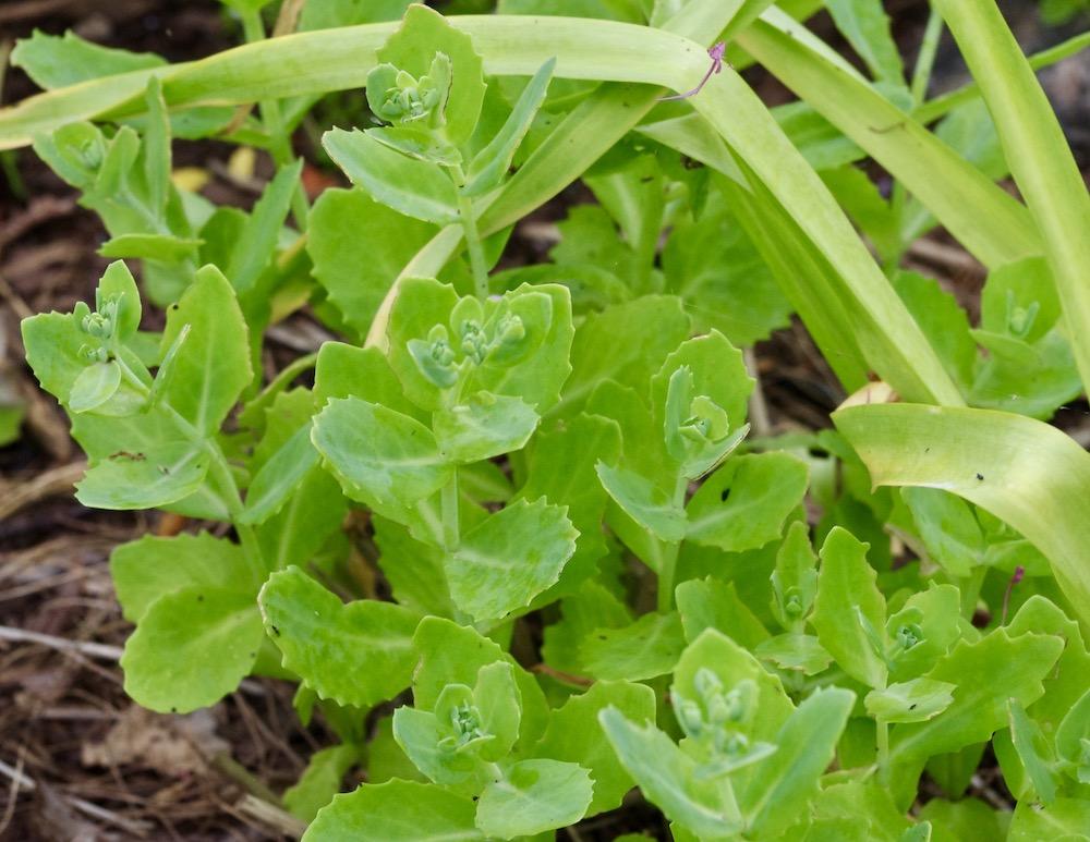 Kärleksört (Hylotelephium)