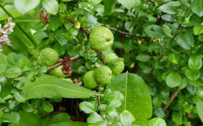 Frukt- och bärutmaning