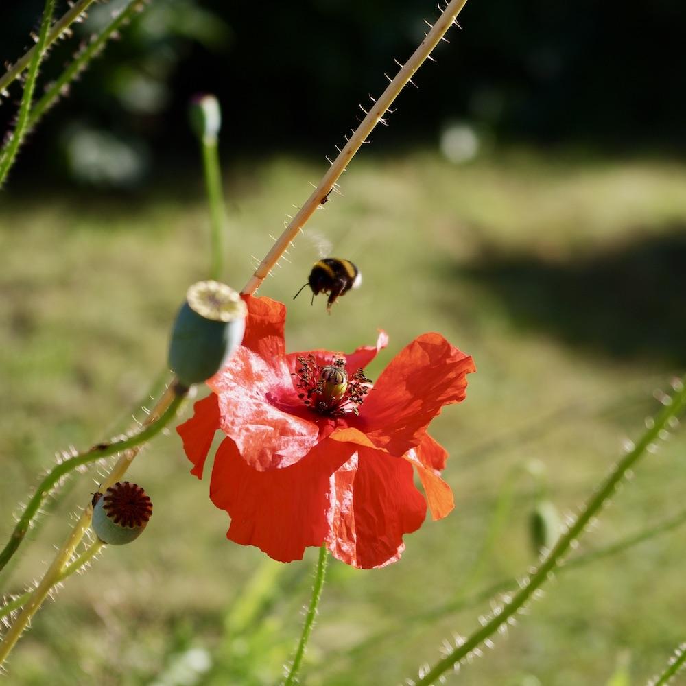 Jättevallmo populärt med pollinatörer - här med humla