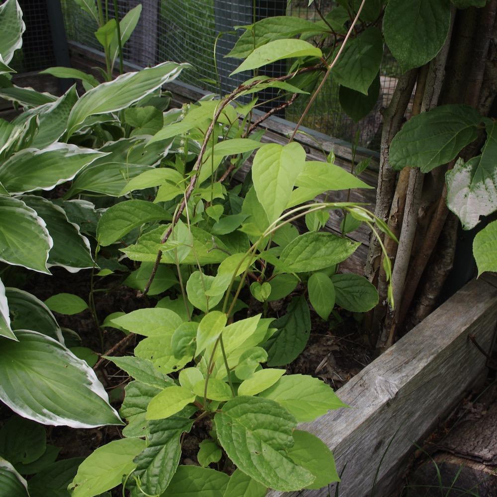 Fjärilsranka (Schisandra chinensis)