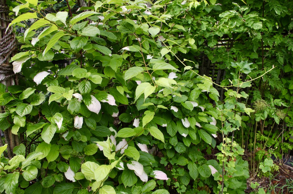 Minikiwi (Actinidia kolomikta)