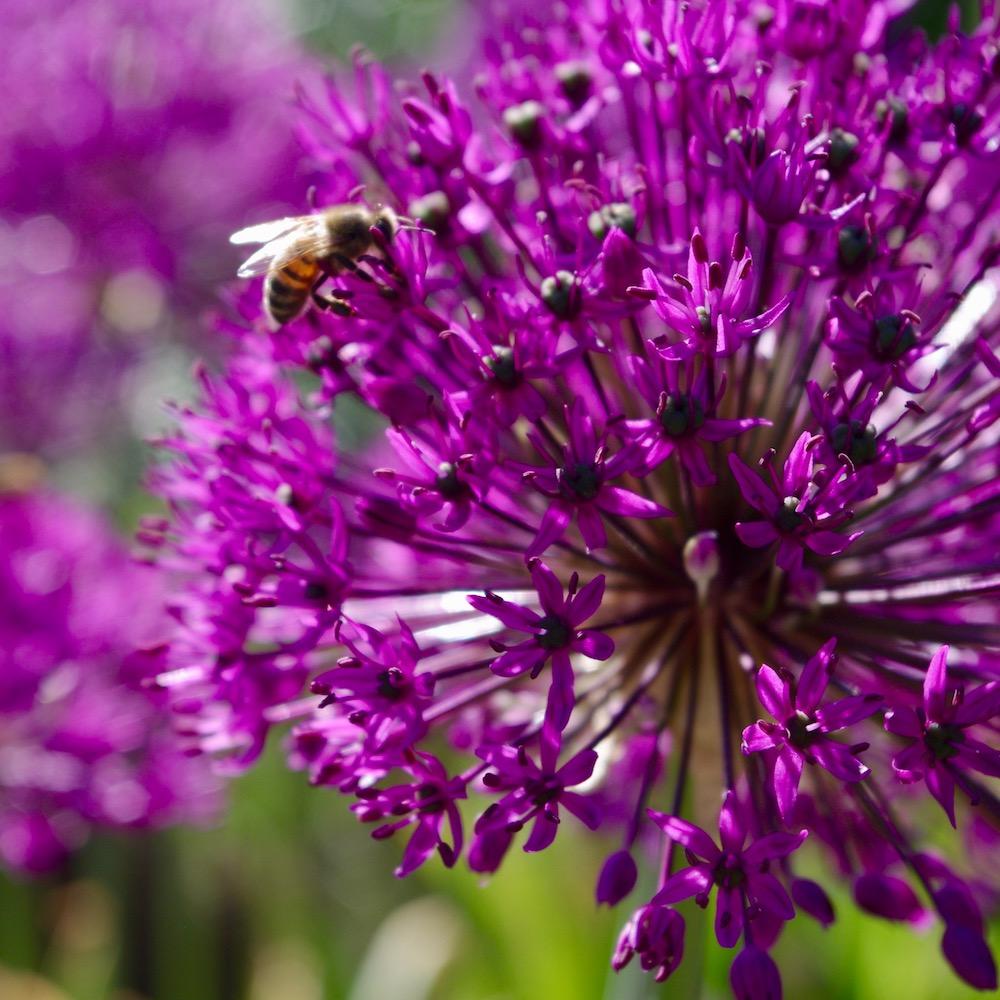 Allium aflatunense 'Purple Sensation' närbild
