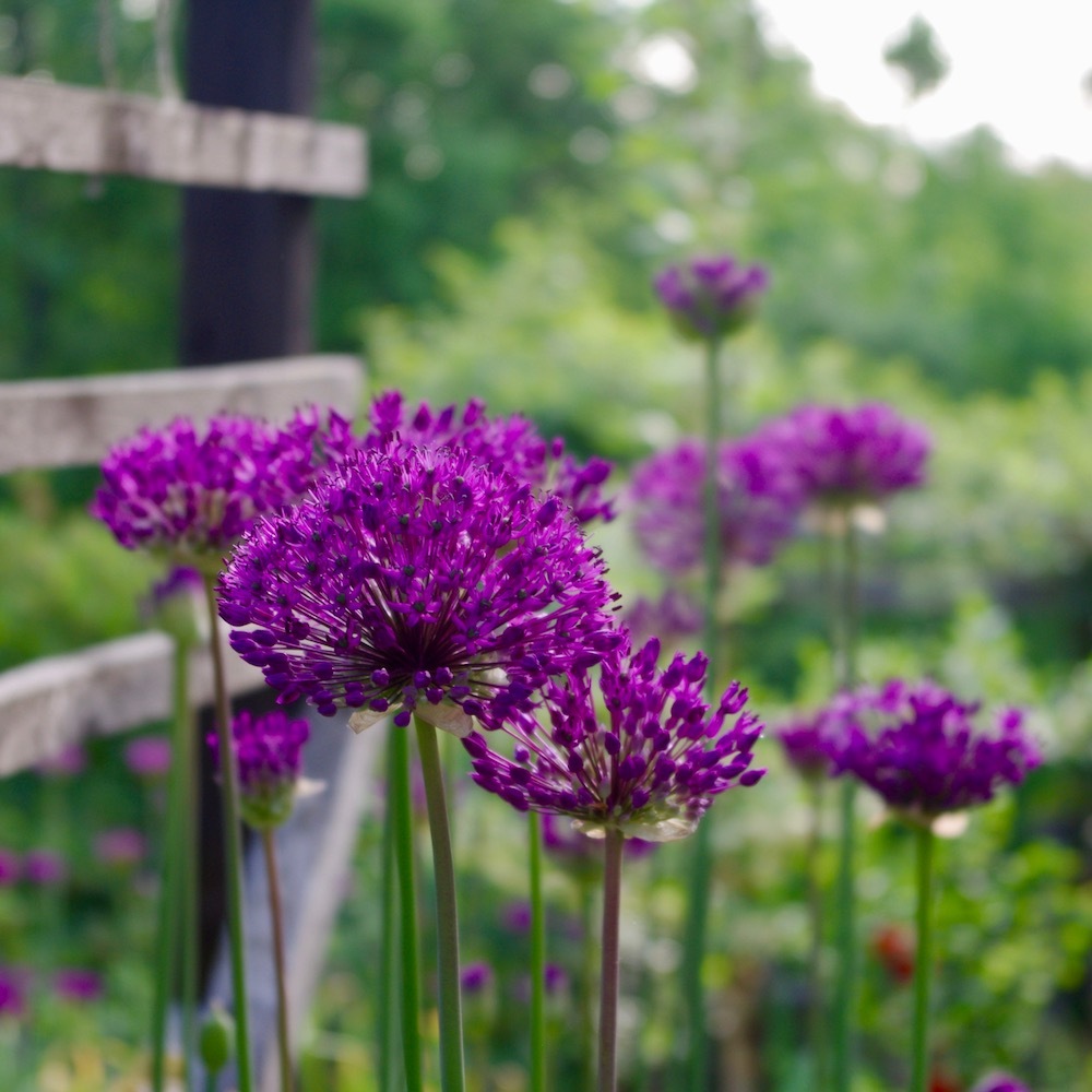 Allium aflatunense 'Purple Sensation' masseffekt