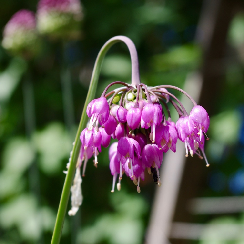 Allium cernuum, prärielök
