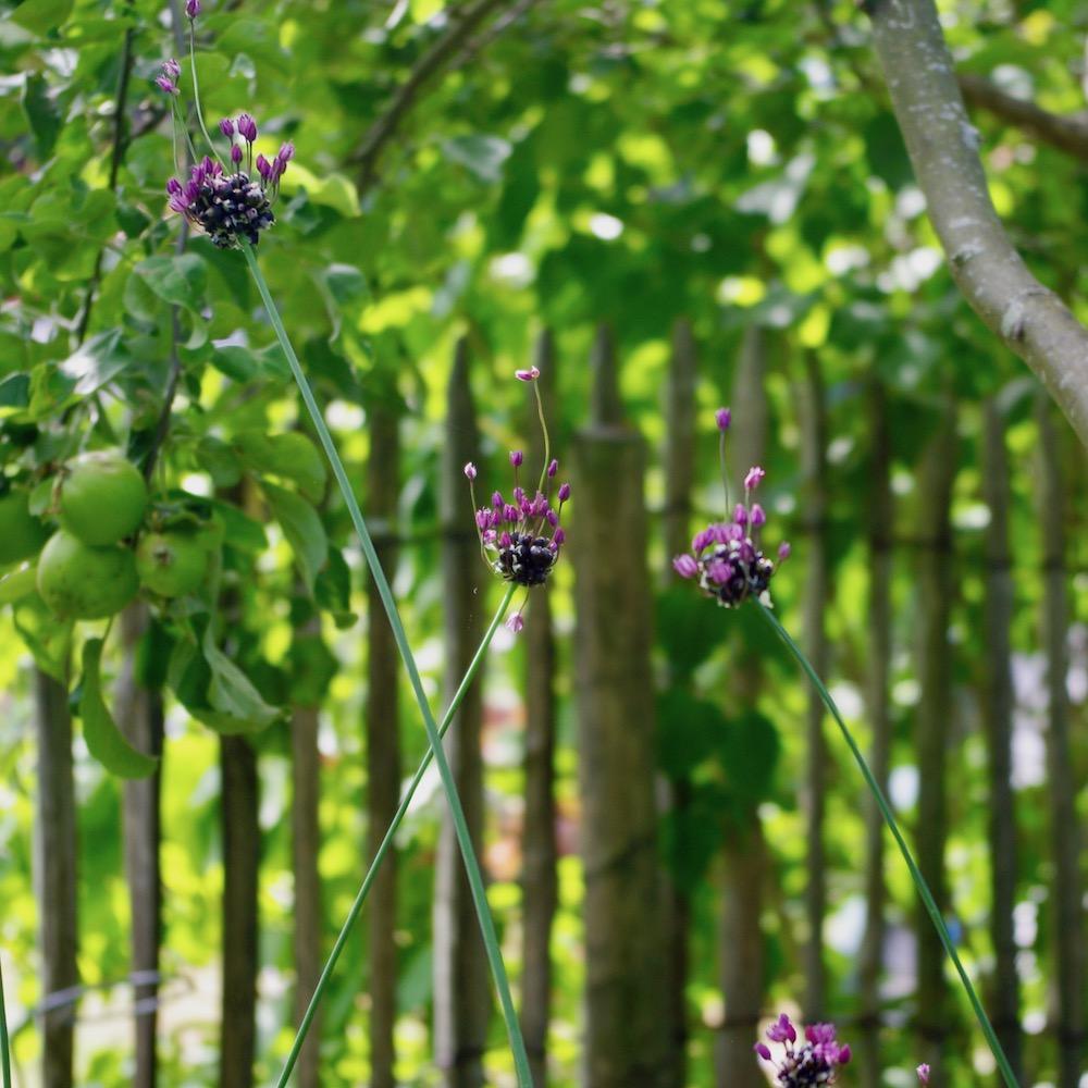 Allium scorodoprasum, skogslök, rena arten