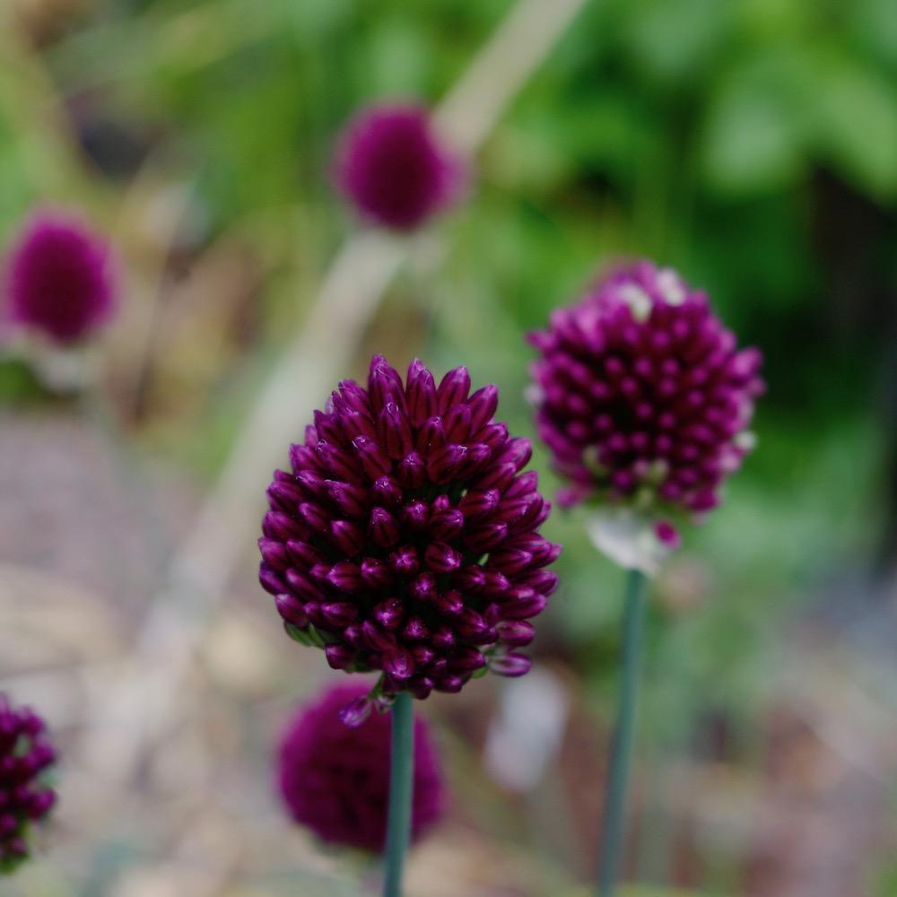 Allium spaerocephalon, klotlök