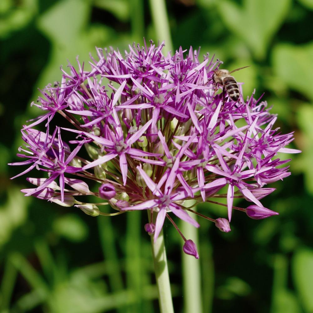 Allium stipitatum 'Violet Beauty', skägglök