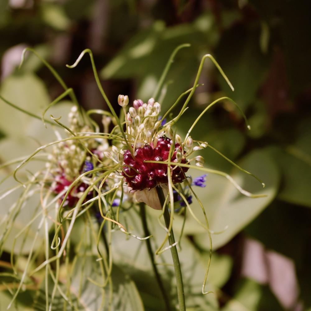Allium vineale 'Hair'