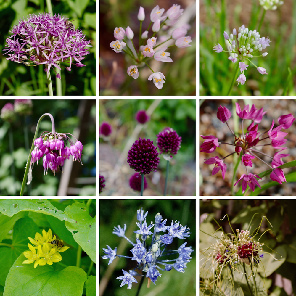Allium samling