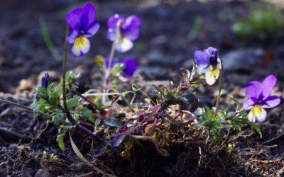 En blomstrande gobeläng – provodling