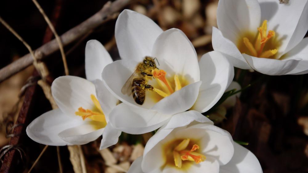 Första honungsbi på krokus