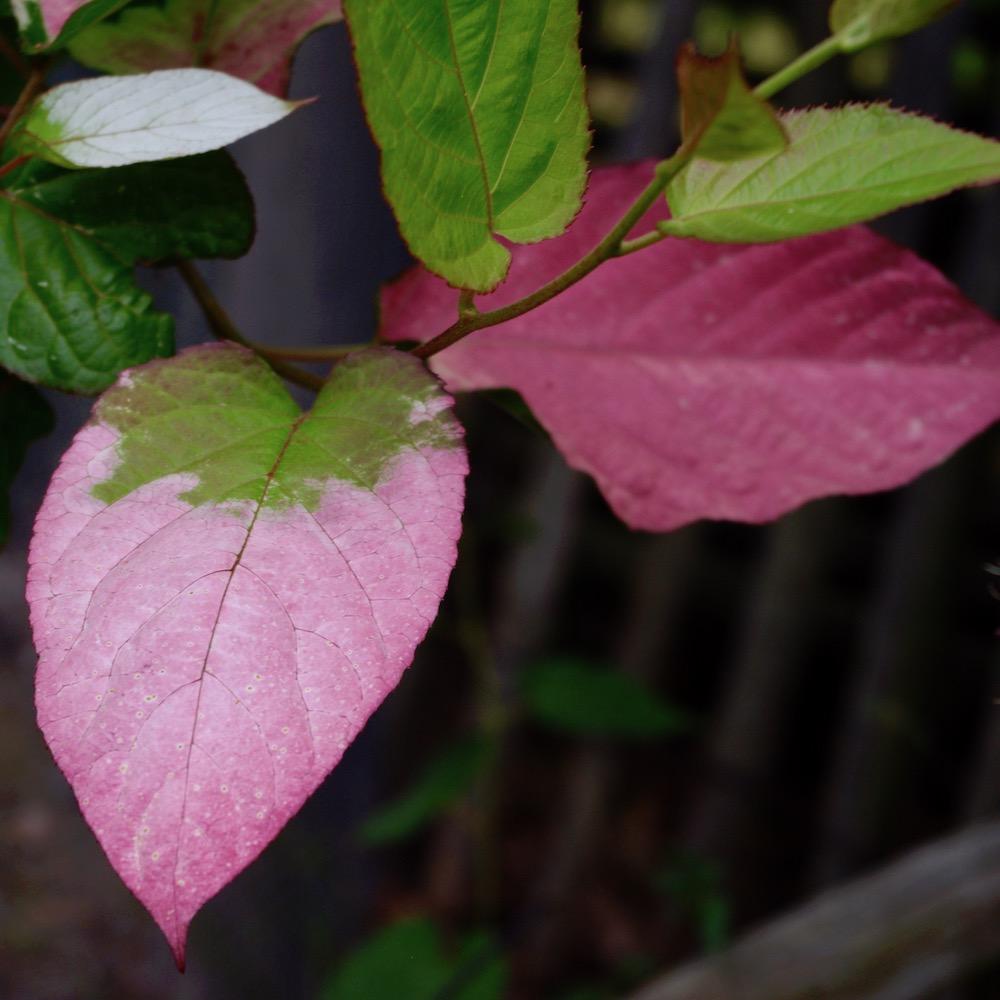 Minikiwi, Actinidia kolomikta, hanplantans bladverk skiftar i rosa-vit