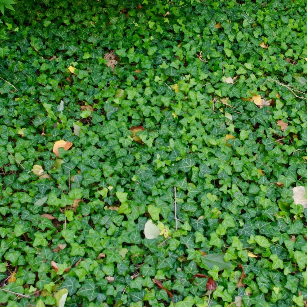 Hedera helix Grafik E, murgröna. Murgröna måste inte klättra utan kan även användas som marktäckare.