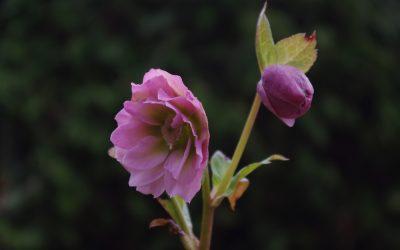 Trädgårdsdagbok tidig april. Bladlök, knoppar, dödved och vårlyx