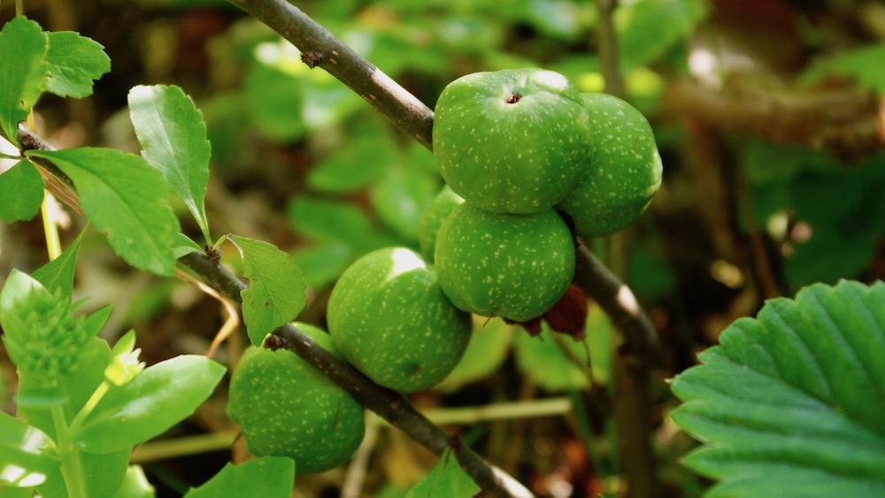 Frukt och bär inventering
