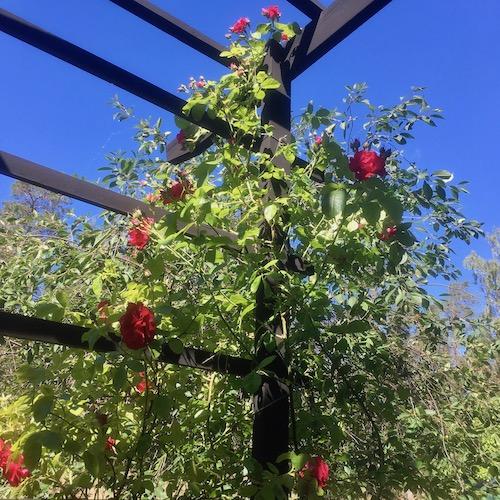Nu äntligen har ros 'Flammentanz' nått upp till toppen av pergolan