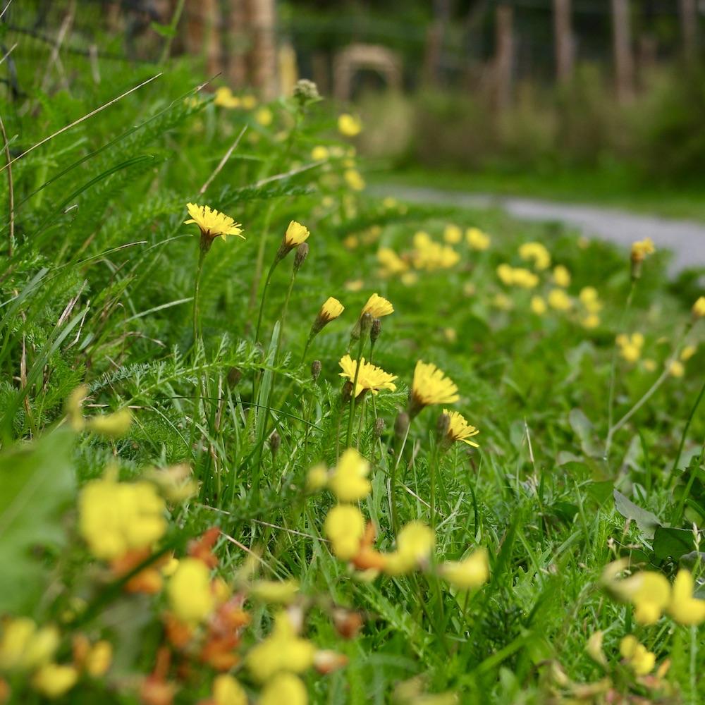 Att förbättra situationen för biologisk mångfald kan vara så enkelt som att öka klipphöjden på gräsklipparen - då får du blommor istället för bara gräsmatta