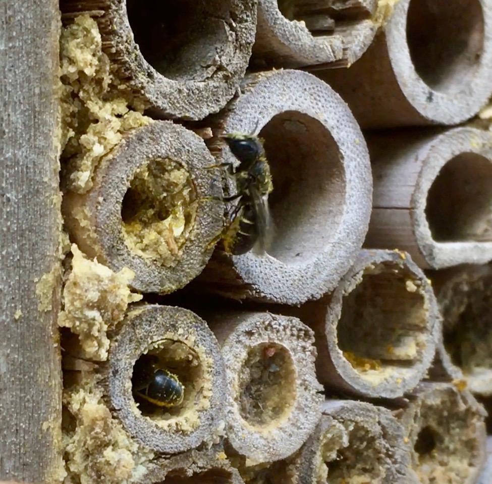 Solitärbin i insektshotell i juni