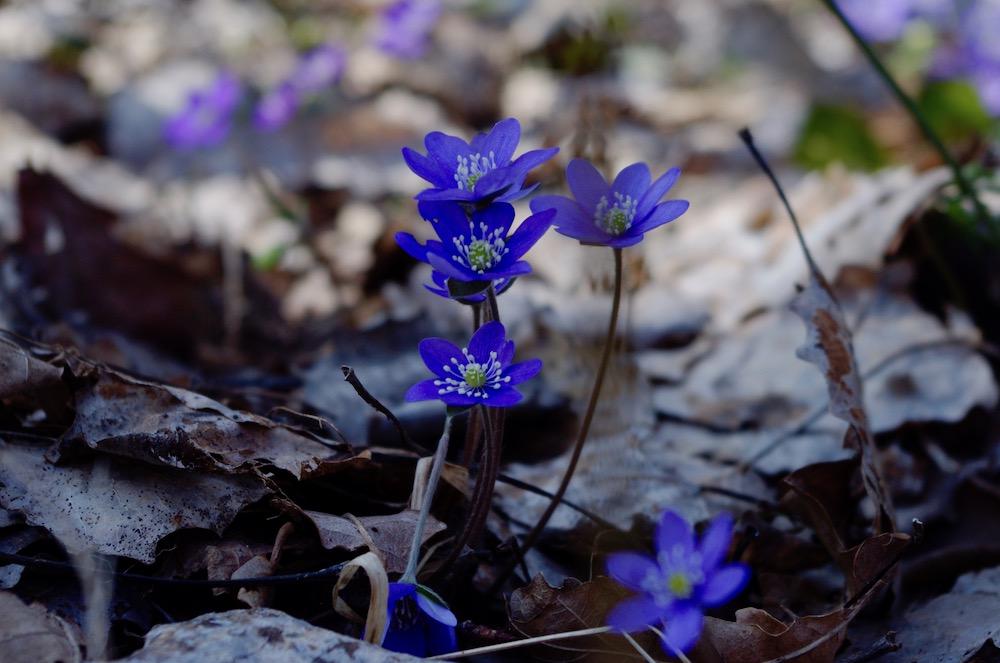 De tidiga vårblommande lökar och annat spännande i april