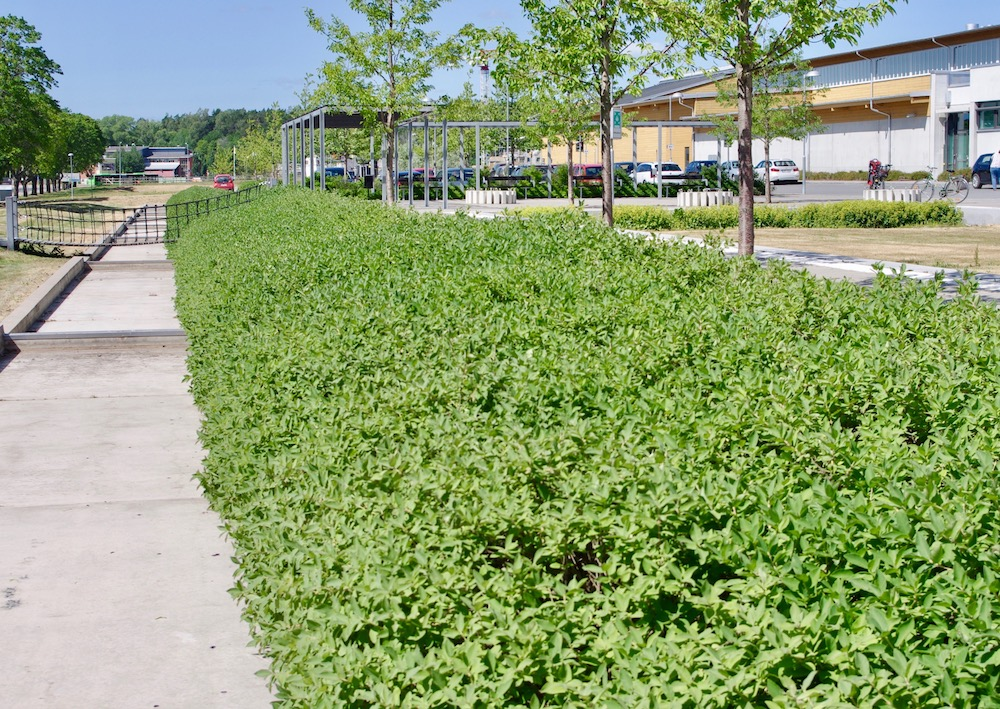 Blåbärstry 'Anja' E används för sitt enhetlig växtsätt och höjd hellre än bärproduktion.