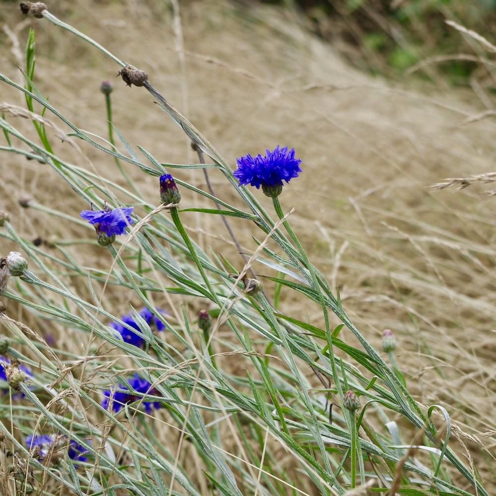 Sensommar förfall med blåklint på en bit uppsläppt gräsmatta