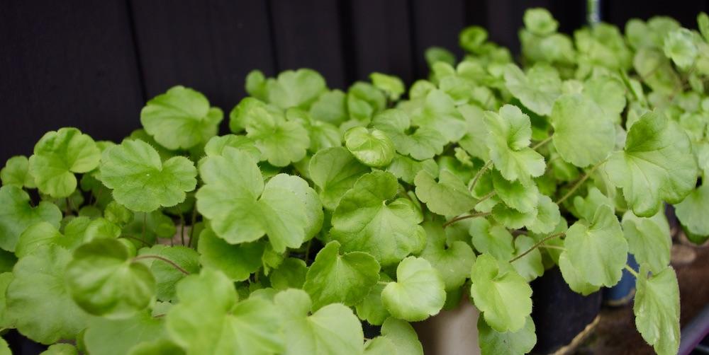 Blodalunrot är lätt att odla från frö