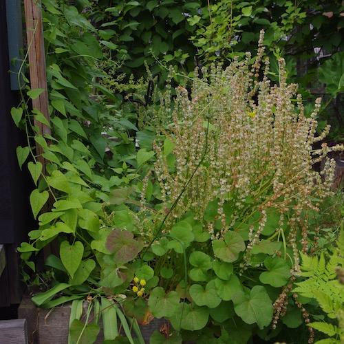 Fjällsyras blad är god att äta även efter blomning.