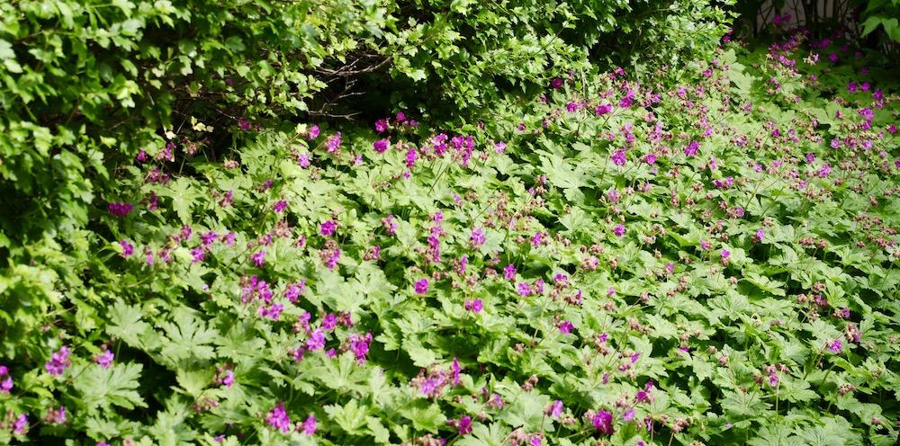 Flocknäva finns med på risklistan som potentiellt invasiv växt