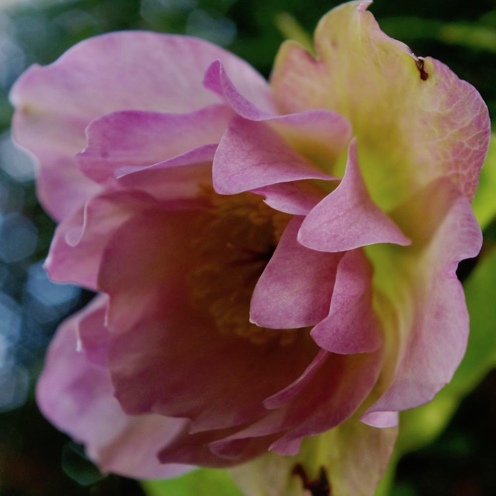 Julros, Helleborus 'Double Ellen Pink'