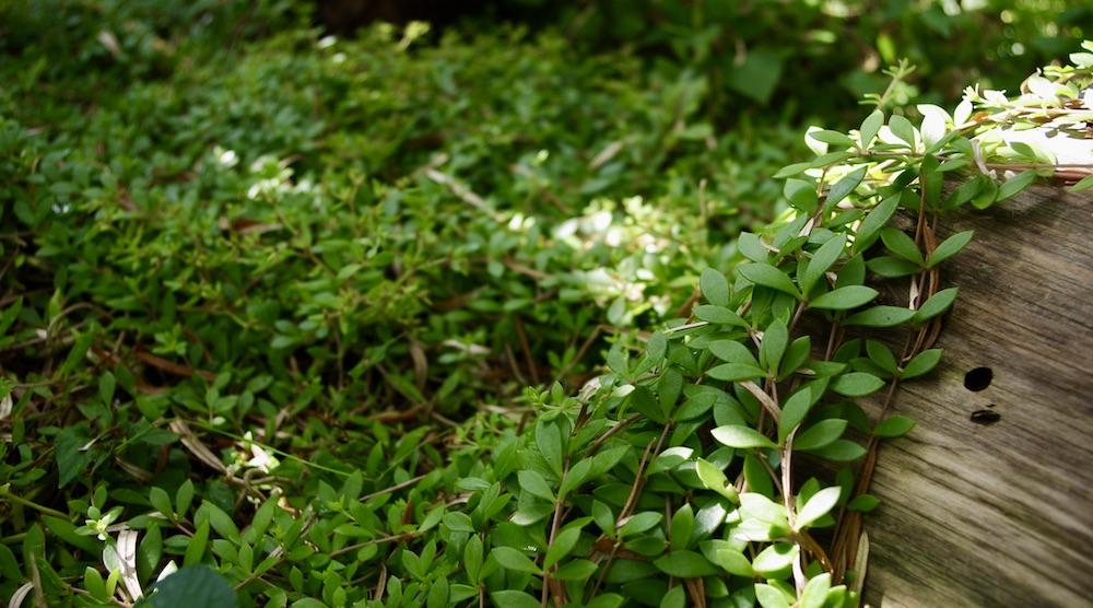 Löparfetblad är en ätbara perenn som fungerar ganska bra som marktäckare.