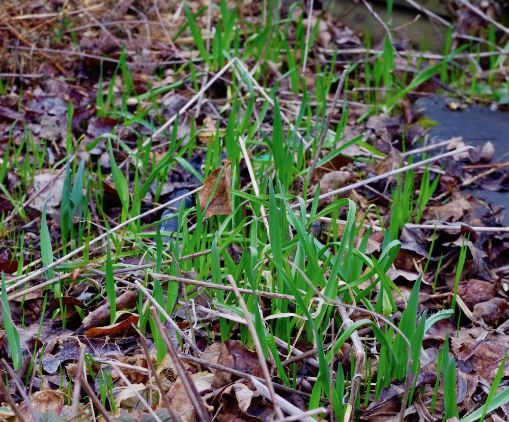 Skogslök, Allium scorodoprasum