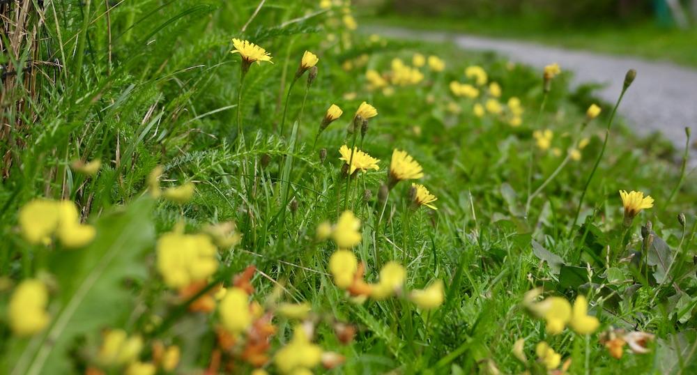 En hårdklippt gräsmatta har samma värde för biologisk mångfald som betong. Prova att släppa upp gräsmattan lite - då kanske den blommar
