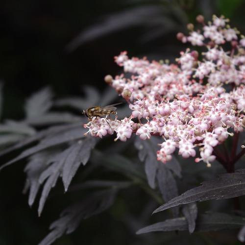 Svartfläder, insekts- och människoväxt