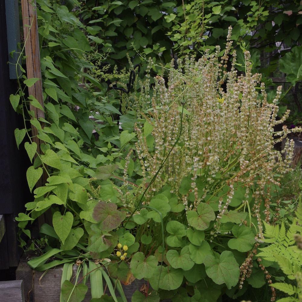 Växtkombination med rankspenat, fjällsyra och guldlök