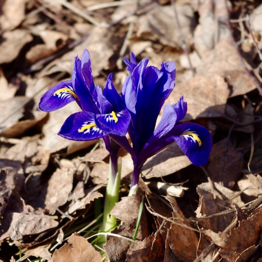 Våriris, Iris reticulata